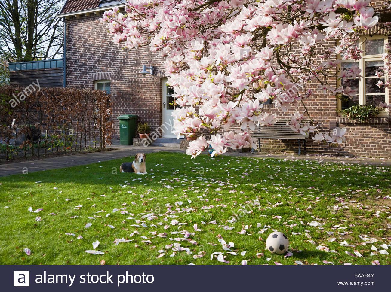 Flowering Magnolia Tree Lawn Dog Ball Small Garden Flower Petals