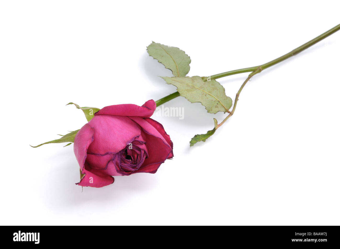 Red withered rose isolated on white background - Stock Image