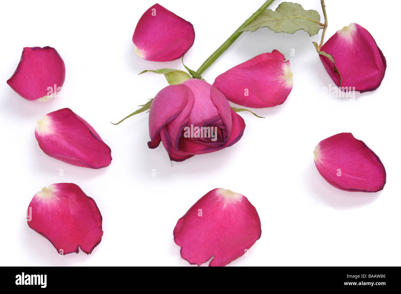 Red rose petals and red rose - Stock Image