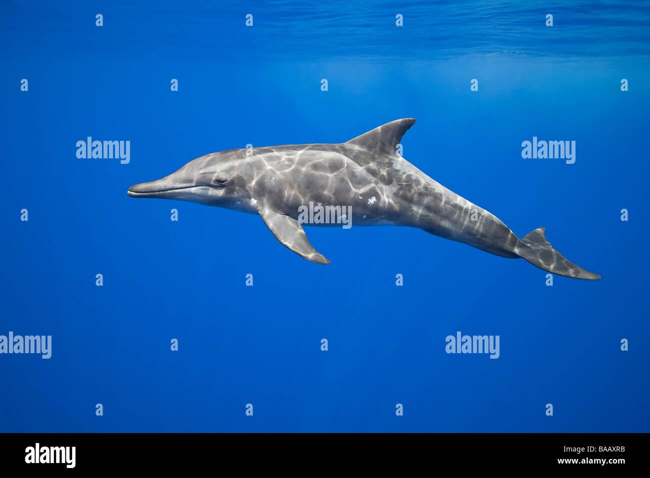 rough-toothed dolphin, Steno bredanensis, Kona Coast, Big Island, Hawaii, Pacific Ocean - Stock Image