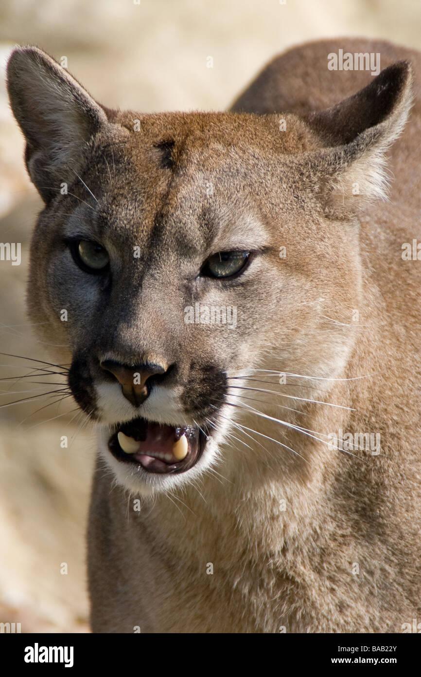 Puma head shot - Stock Image