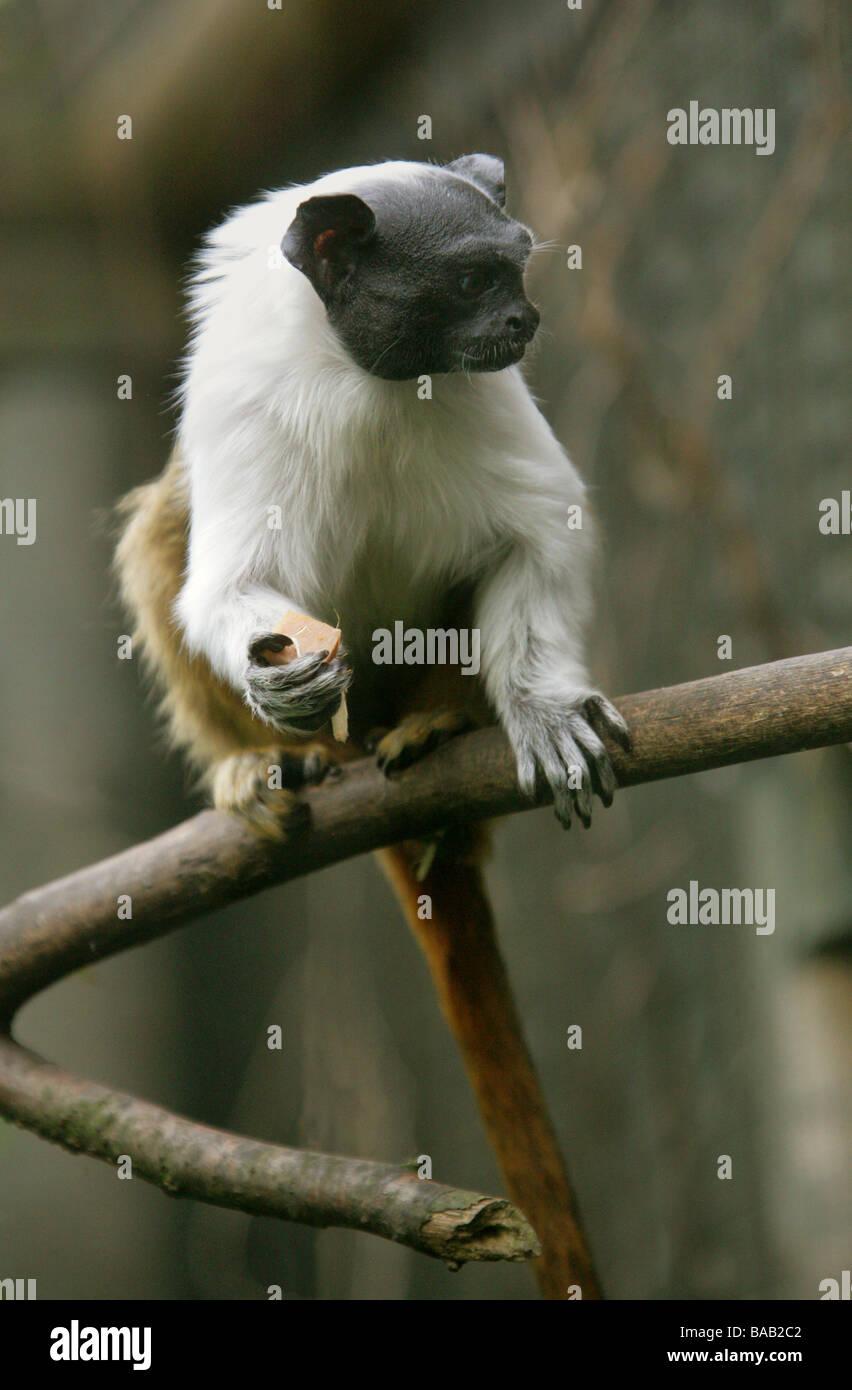 Pied Tamarin, Sanguinus b bicolor, Cebidae. A Bare Faced New World Monkey from Manaus, Brazil, South America Stock Photo