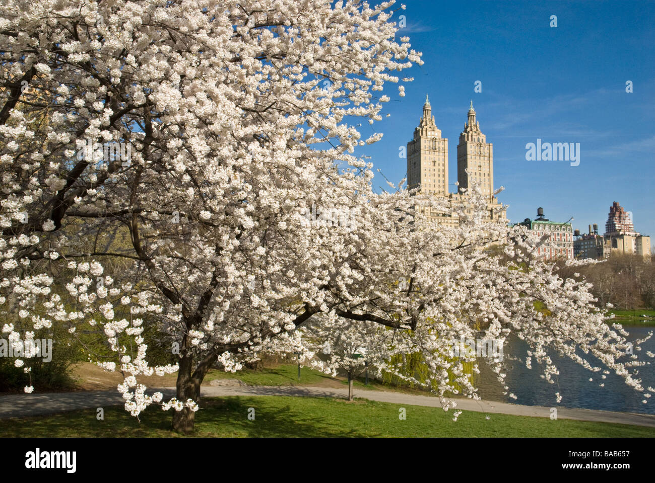 Cherry Blossoms in Central Park New York Stock Photo