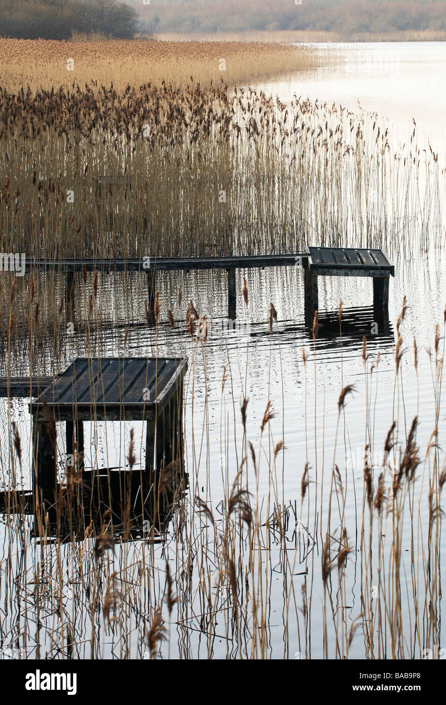 Fishing pontoon surrounded by Reeds at the edge of a lake County Fermanagh Northern Ireland - Stock Image