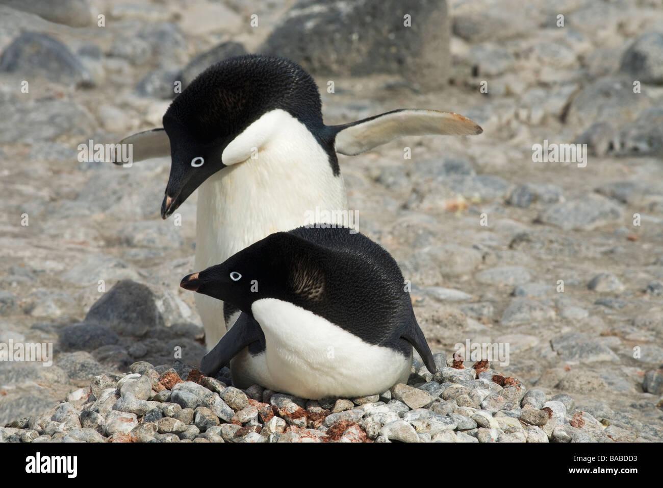 Breeding pair of Adelie penguins Pygoscelis adeliae on nest of small stones Paulet Island Antarctic Peninsula Antarctica - Stock Image