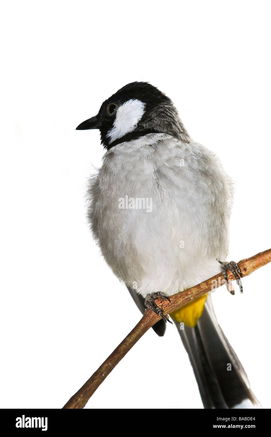 White eared Bulbul Pycnonotus leucotis isolated on branch - Stock Image