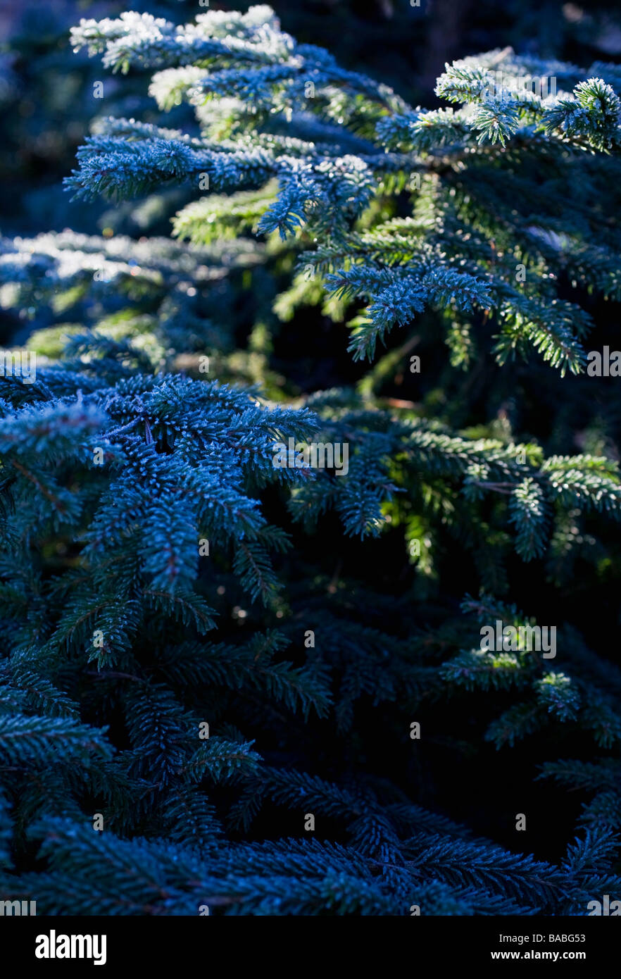 White frost on a spruce fir Sweden - Stock Image