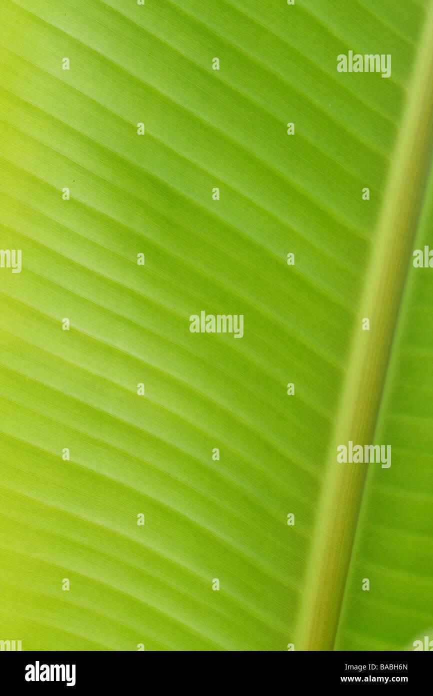 Banana leaf for backgrounds - Stock Image