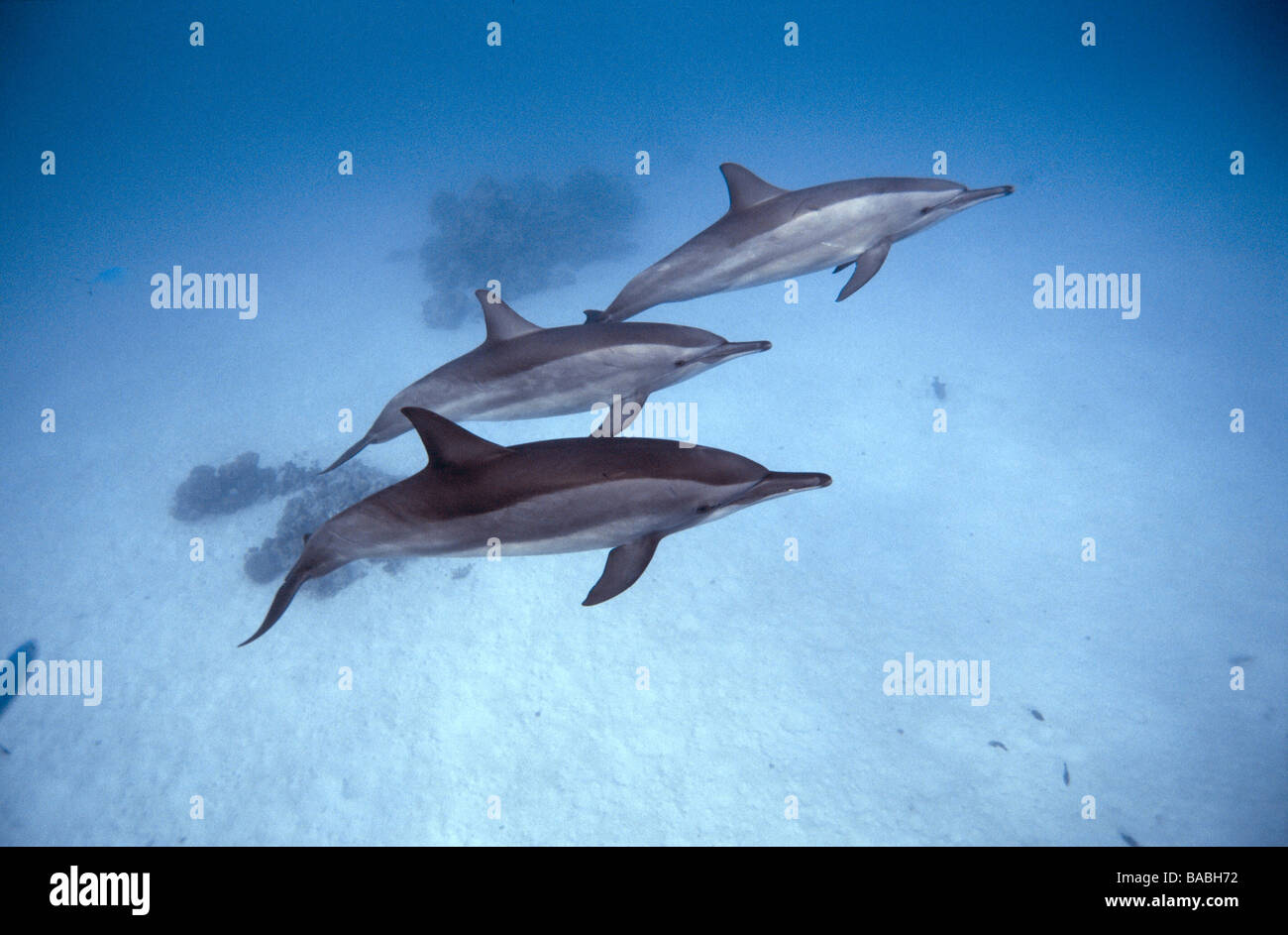 Red Sea dolphins Marsa Alam Samadai Bay, underwater, clear water, blue water, scuba, diving, ocean, sea, snorkel, Stock Photo