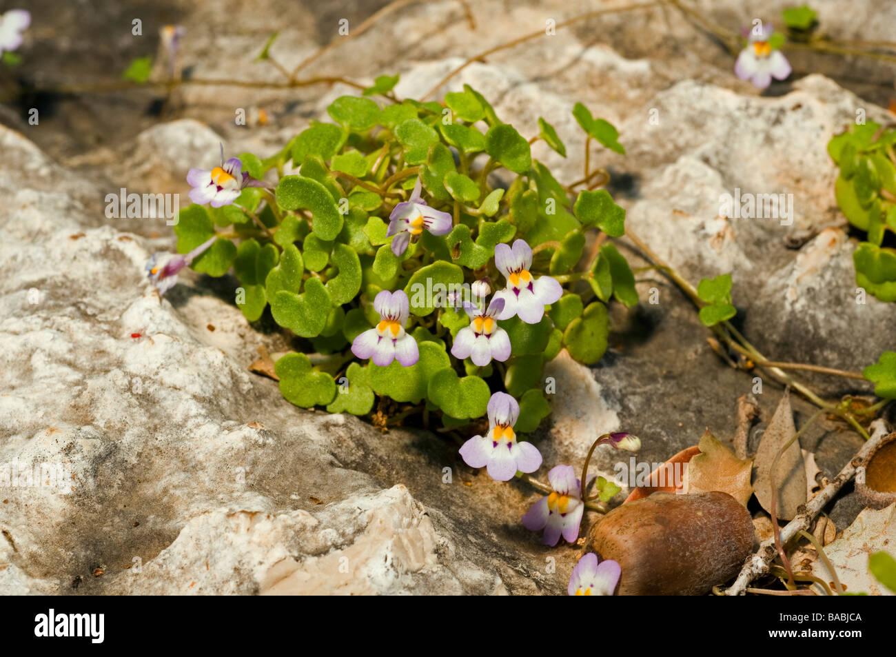 Ivy leaved toad-flax, Cymbalaria microcalyx, Kas Antalya Turkey April 2009 - Stock Image