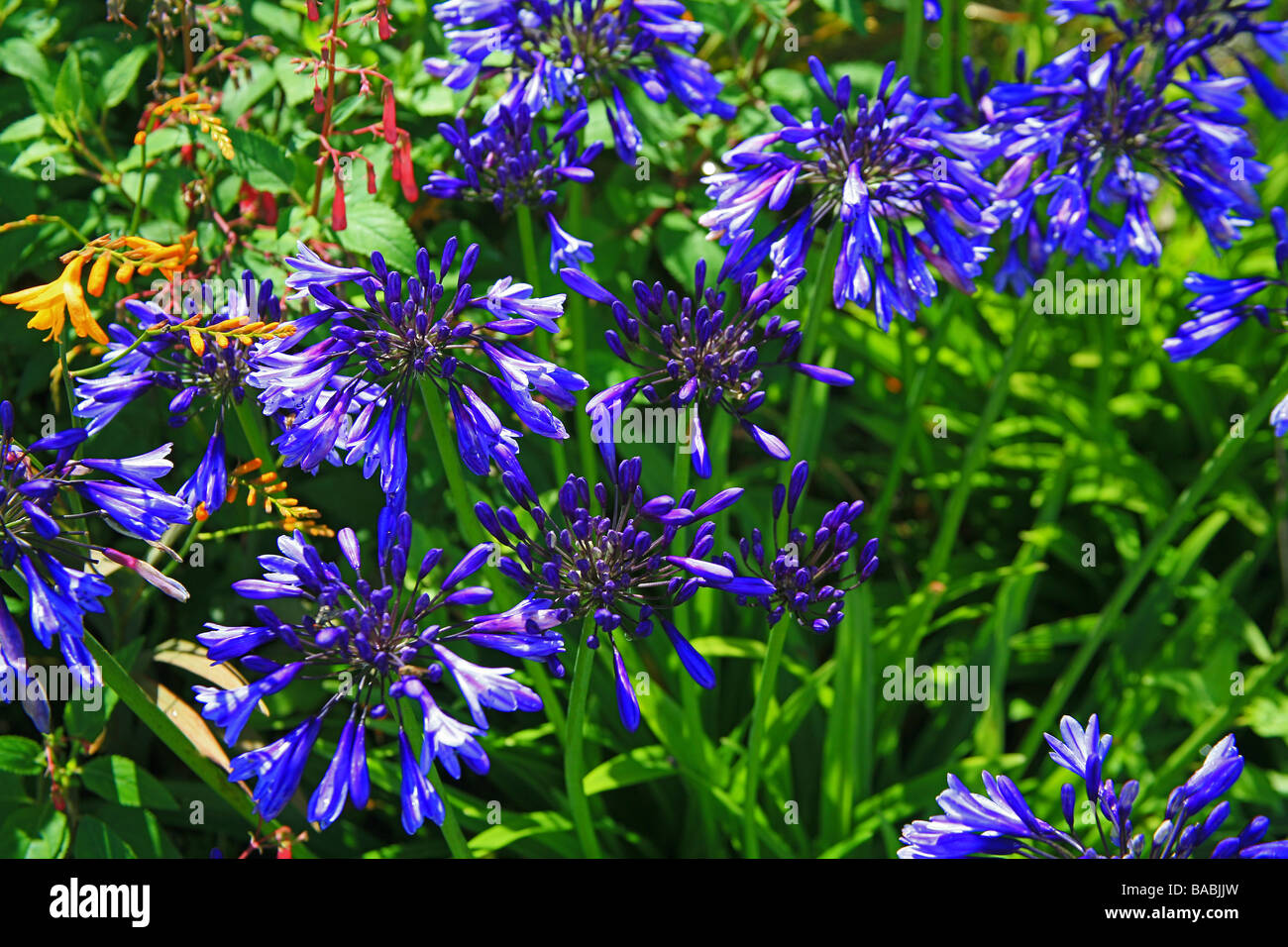Agapanthus flowers in the South African Garden at The Garden House in Buckland Monachorum, Devon, Enghland, UK - Stock Image