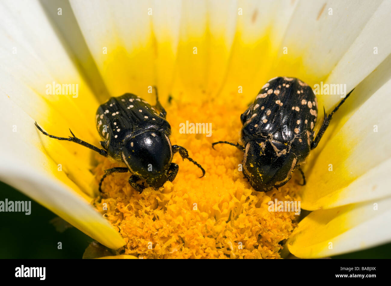 Beetles feeding on a wild flower Kas Turkey - Stock Image