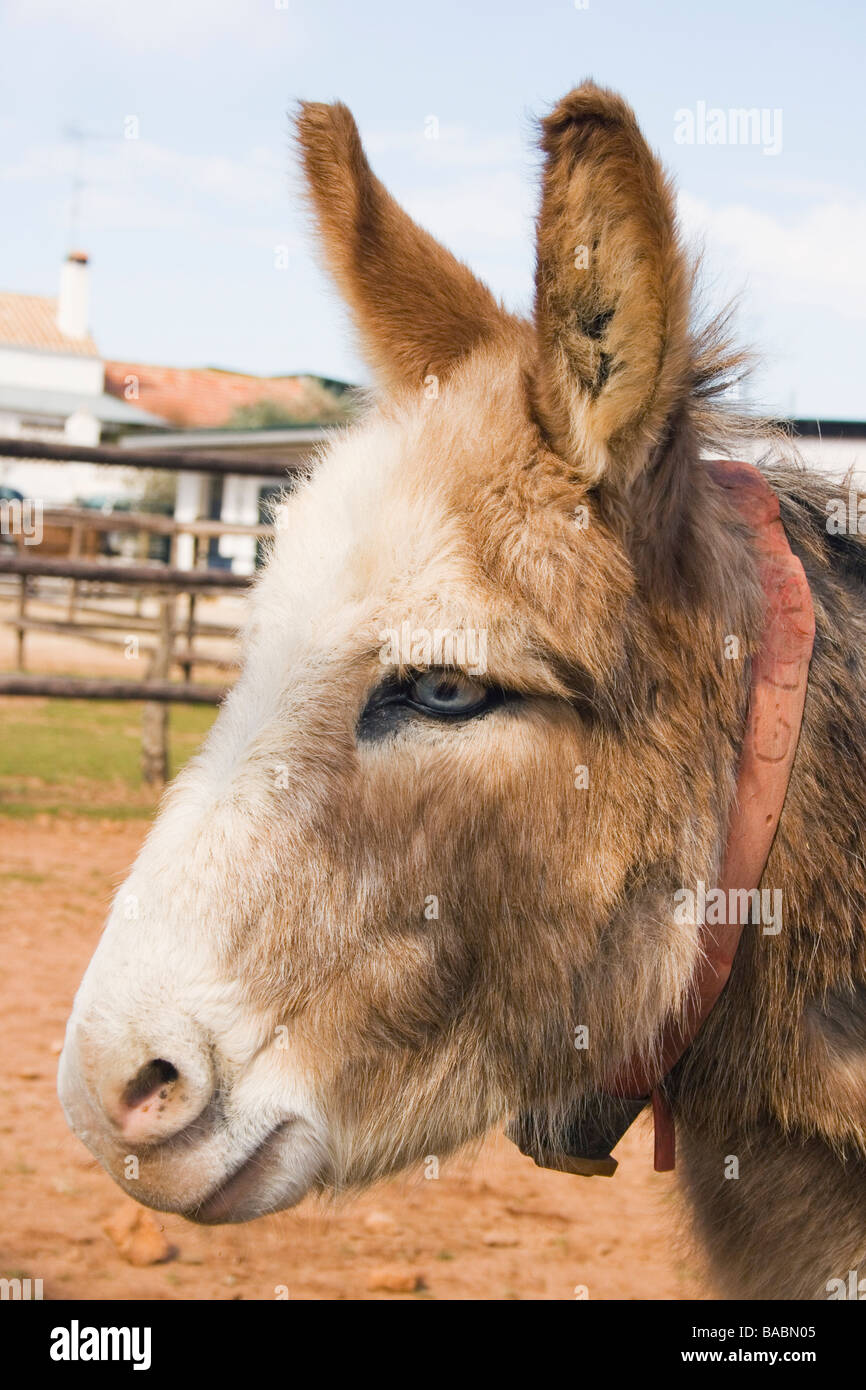 Blue eyed donkey in El Refugio Del Burrito Fuente De Piedra Malaga Spain - Stock Image