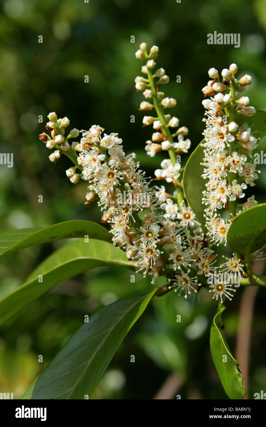 Cherry Laurel or English Laurel, Prunus laurocerasus, Rosaceae - Stock Image