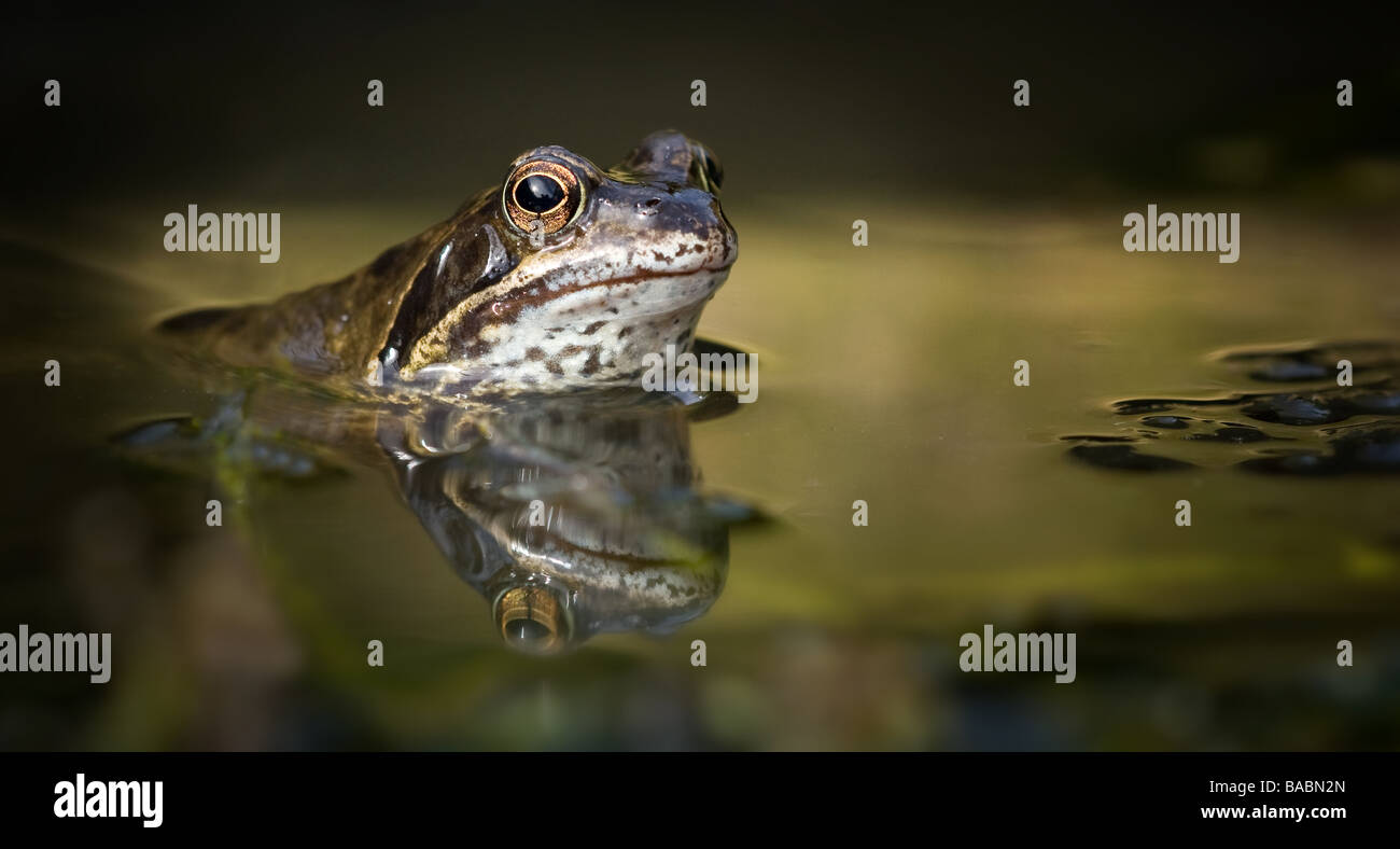 Single Commom frog (Rana temporaria) with reflection in the pond - Stock Image