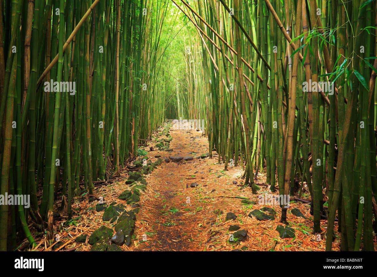 Bamboo forest along the Pipiwai trail to Waimoku Fall in the Kipahulu area of Haleakala National Park in Maui Hawaii - Stock Image