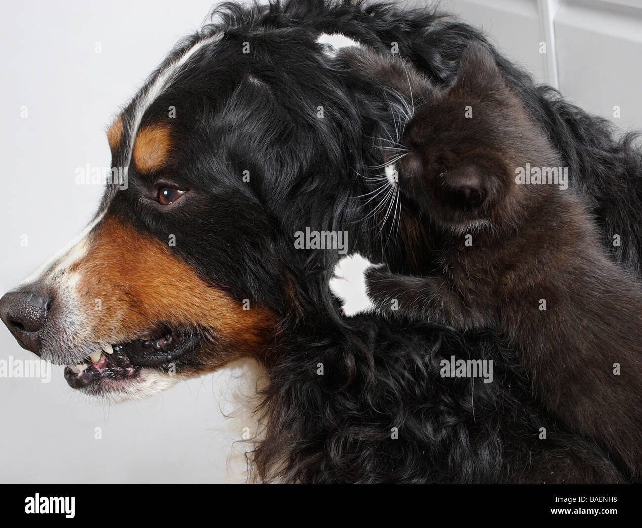 bernese mountain dog snarling at little kitten jumping on his head Stock Photo