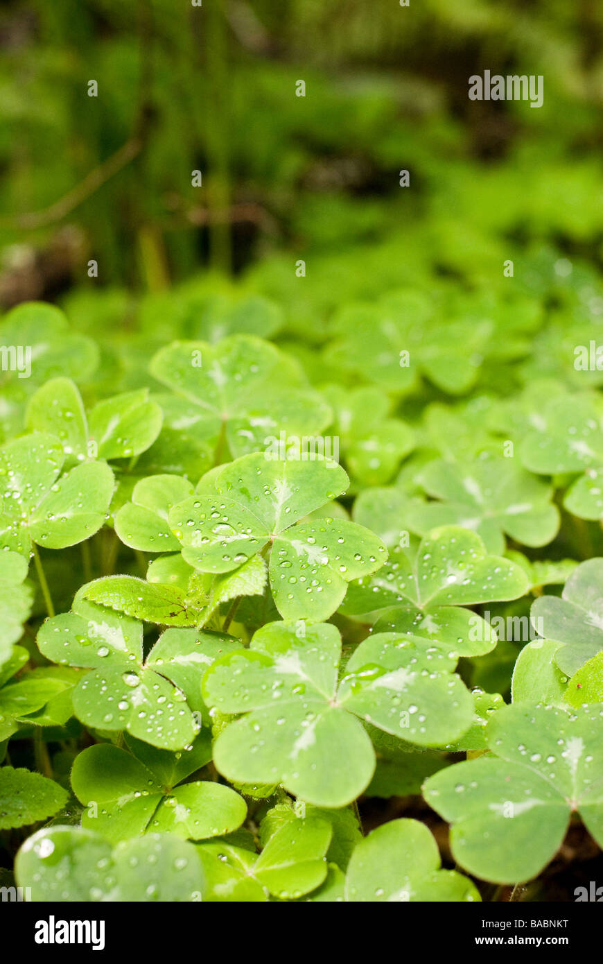 clovers in the forest - Stock Image