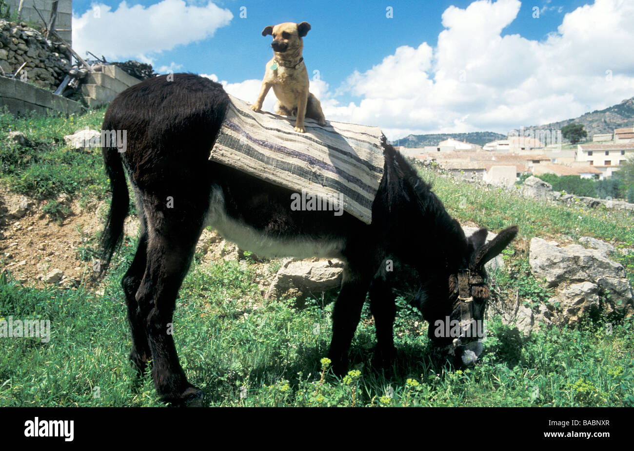 little puppy sitting on back of donkey in Spain - Stock Image