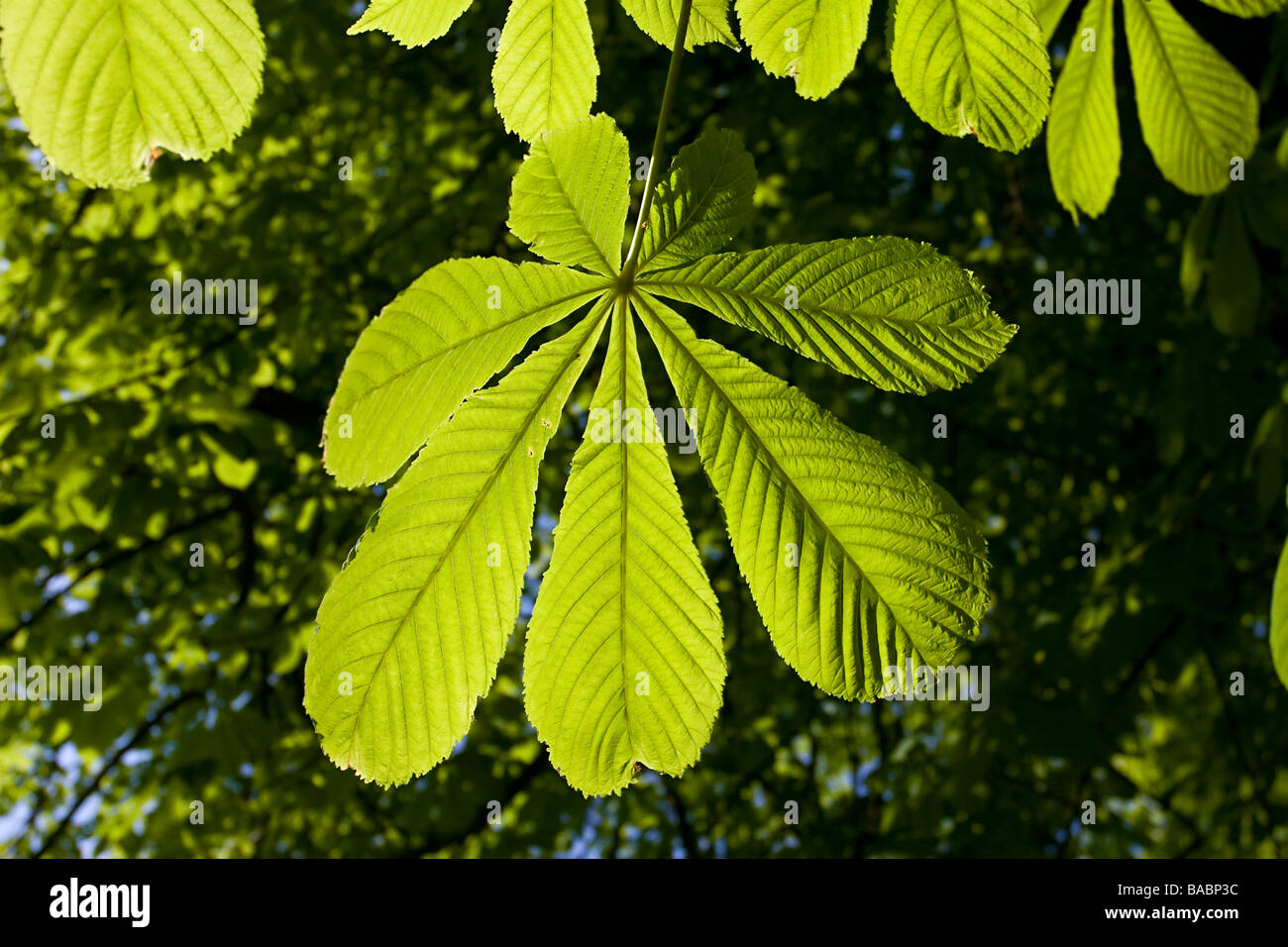 Horse Chestnut leaf palmate spring new Stock Photo
