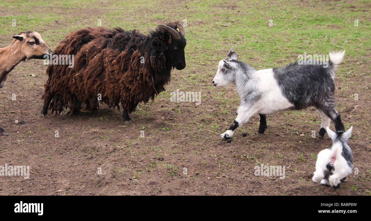Monk Park Farm zoo type attraction near Thirsk Yorkshire - young goat and mother face up to a dominant sheep - Stock Image