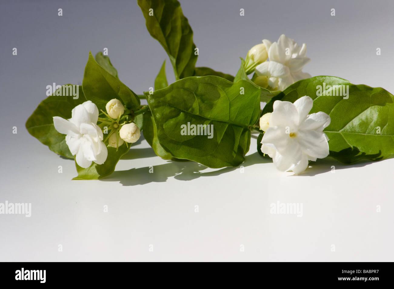 Arabian jasmine flowers on white background stock photo 23616299 arabian jasmine flowers on white background izmirmasajfo