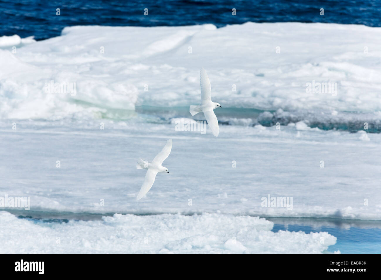 Two Snow Petrels Pagadroma nivea in flight against sea pack ice Antarctic Peninsula Antarctica - Stock Image