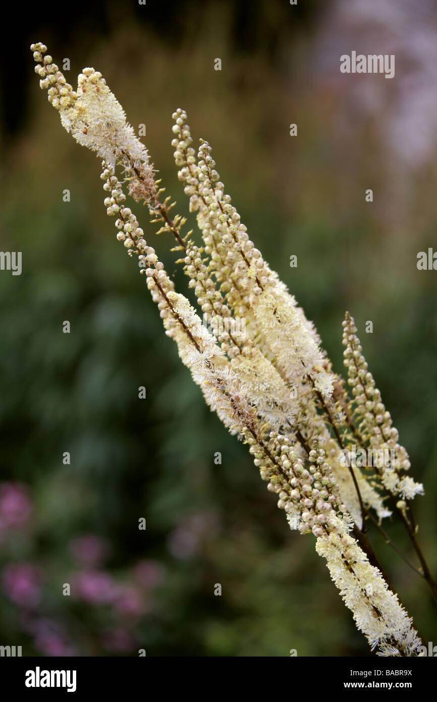 Canadian Burnet, Sanguisorba canadensis, Rosaceae - Stock Image