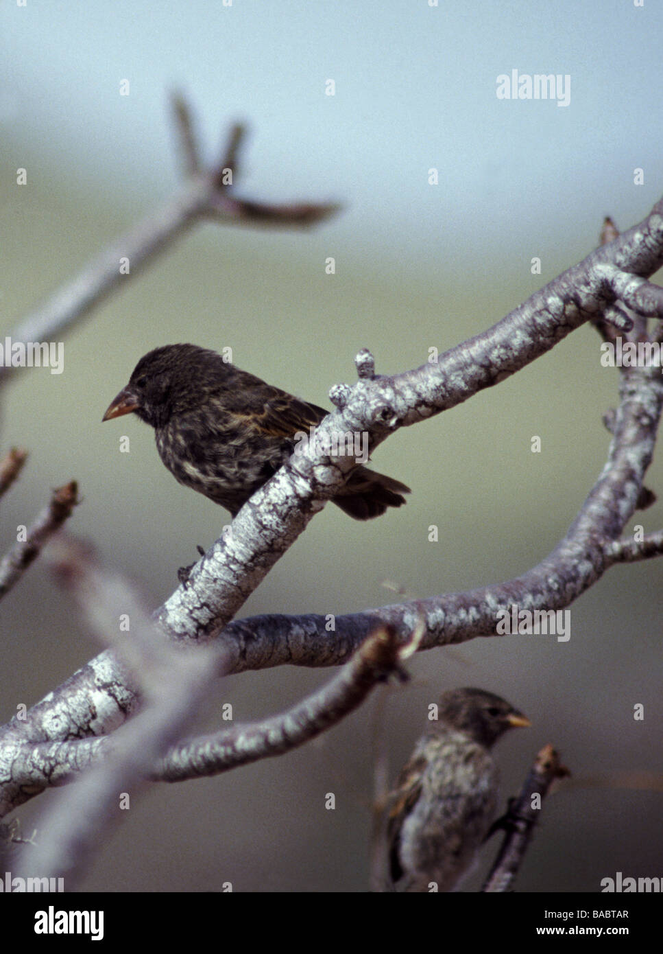 Galapagos Islands. Cactus Finch 'Geospiza scandens' Pair in Palo Santo tree - Stock Image