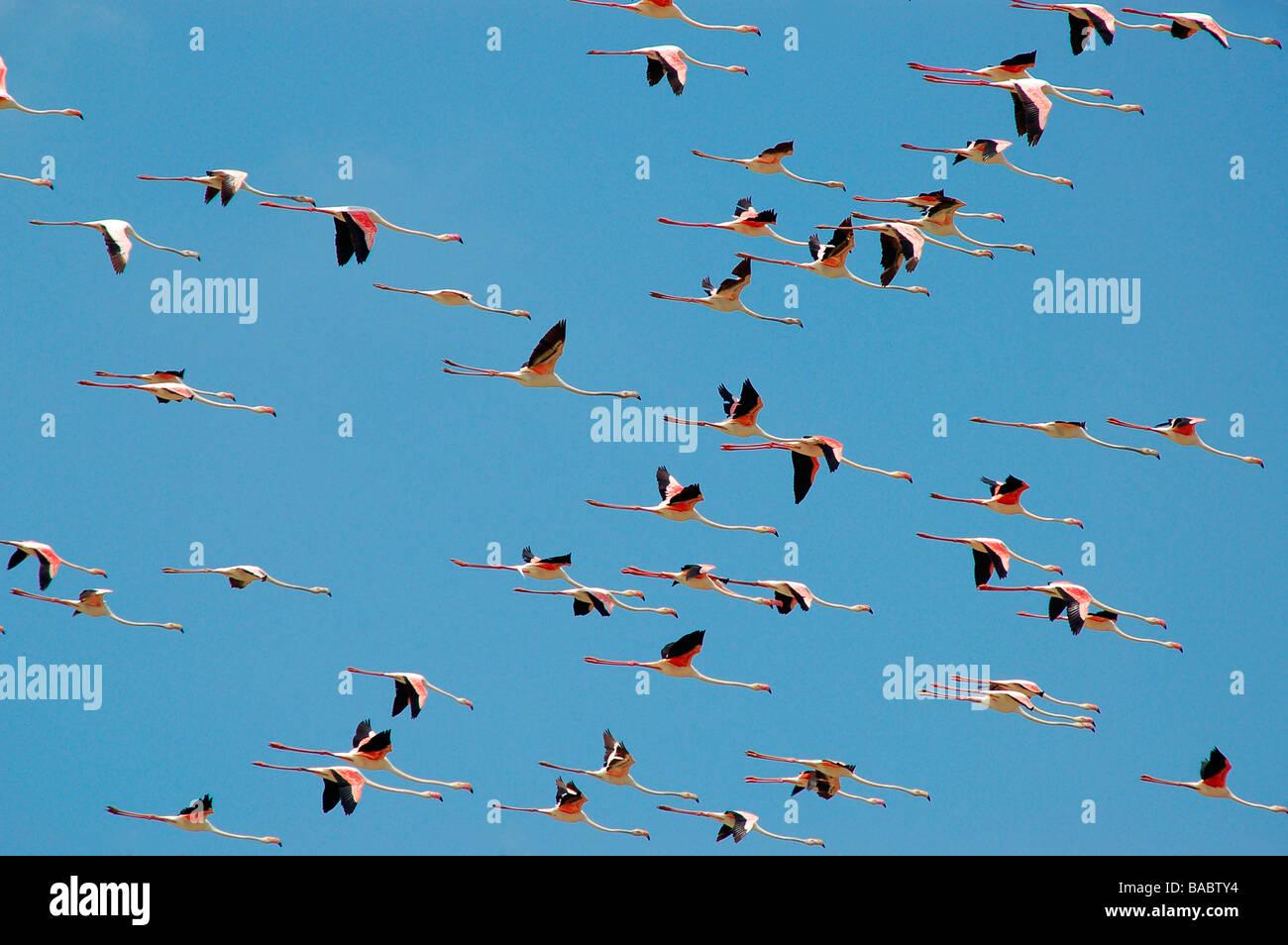 Flamingoes in flight at koothankulam, Thirunelvelli District, Tamil Nadu - Stock Image