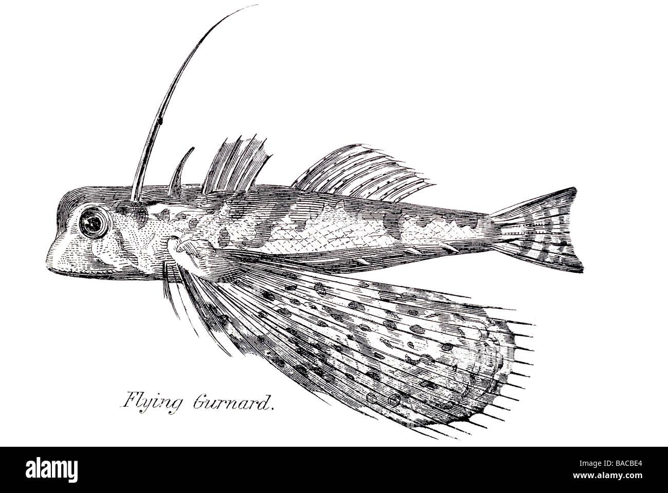 Flying Gurnard Fish Dactylopterus Volitans Stock Photos & Flying ...