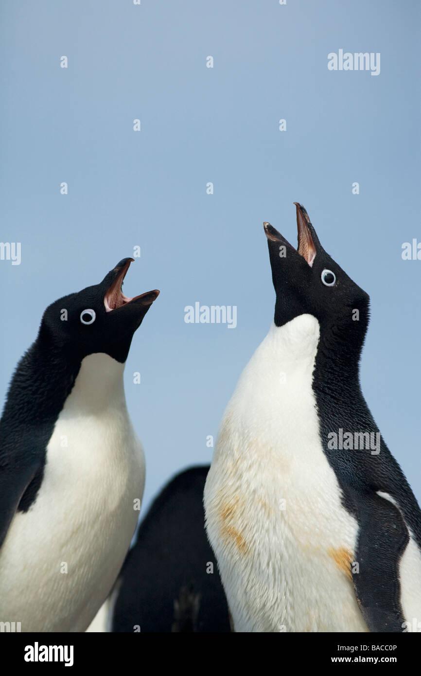 Breeding pair of Adelie penguins Pygoscelis adeliae greeting Paulet Island Antarctic Peninsula Antarctica Stock Photo