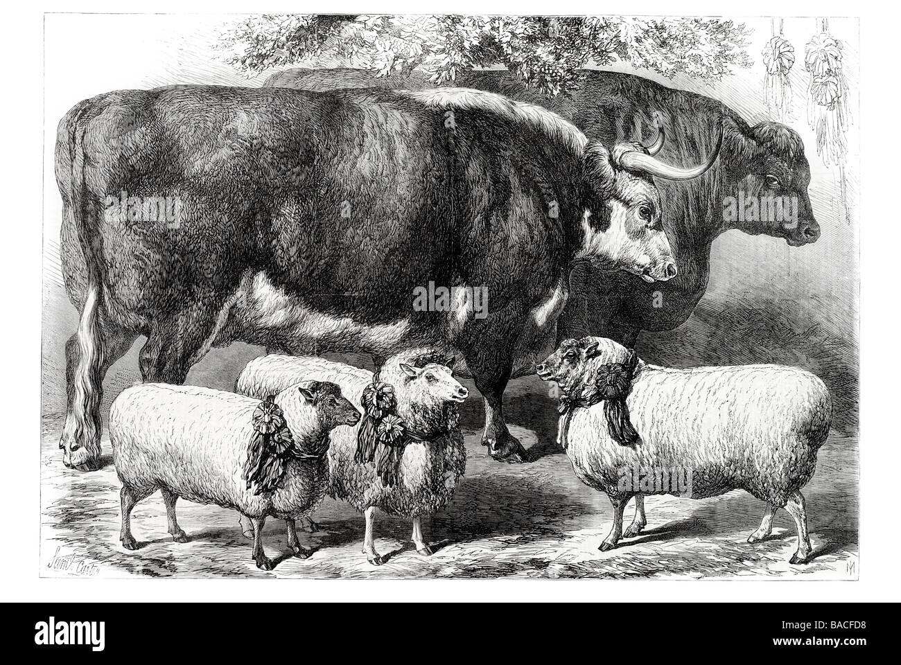 The Smithfield Club Cattle Show prize cattle and sheep at the Agricultural Hall Islington - Stock Image