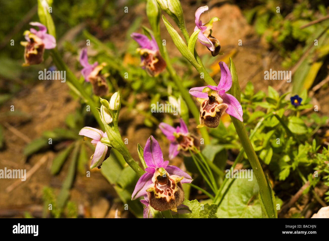 Bee orchids, Orchis scolopax, Mugla Turkey April 2009 - Stock Image