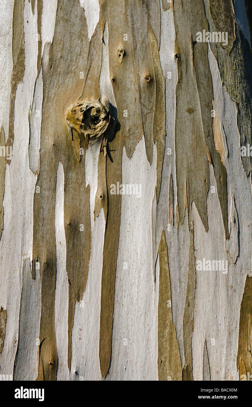 Closeup of bark of the Tasmanian Euclayptus golbulus tree - Stock Image