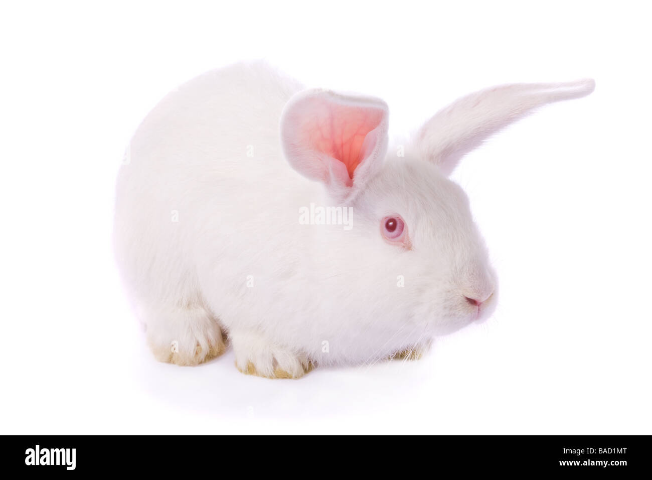 Timid young white rabbit isolated on white background - Stock Image