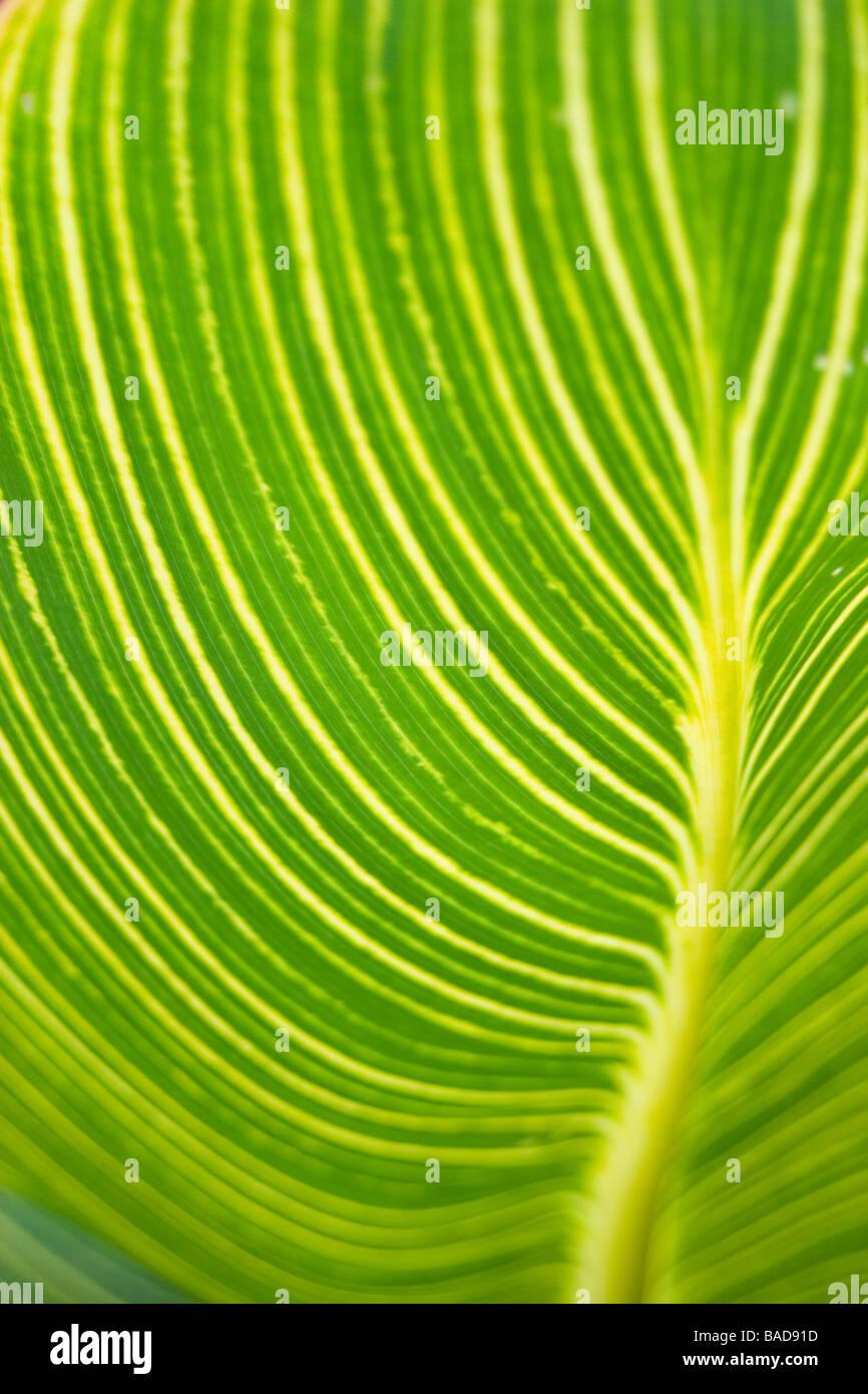 Hosta Leaves - Stock Image