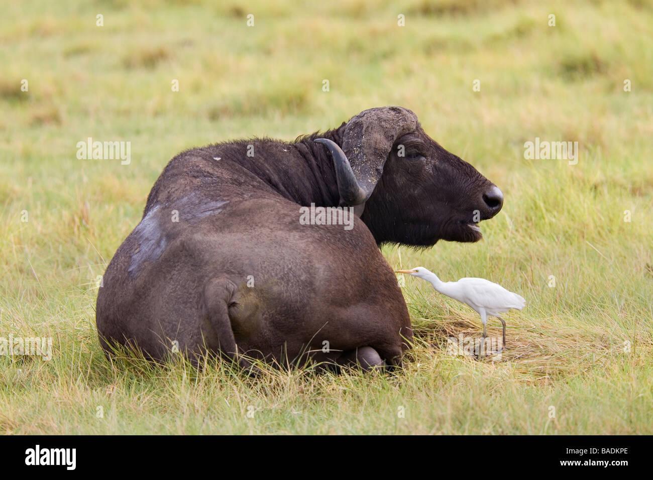 Buffalo and Yellow Billed Egret Tanzania - Stock Image
