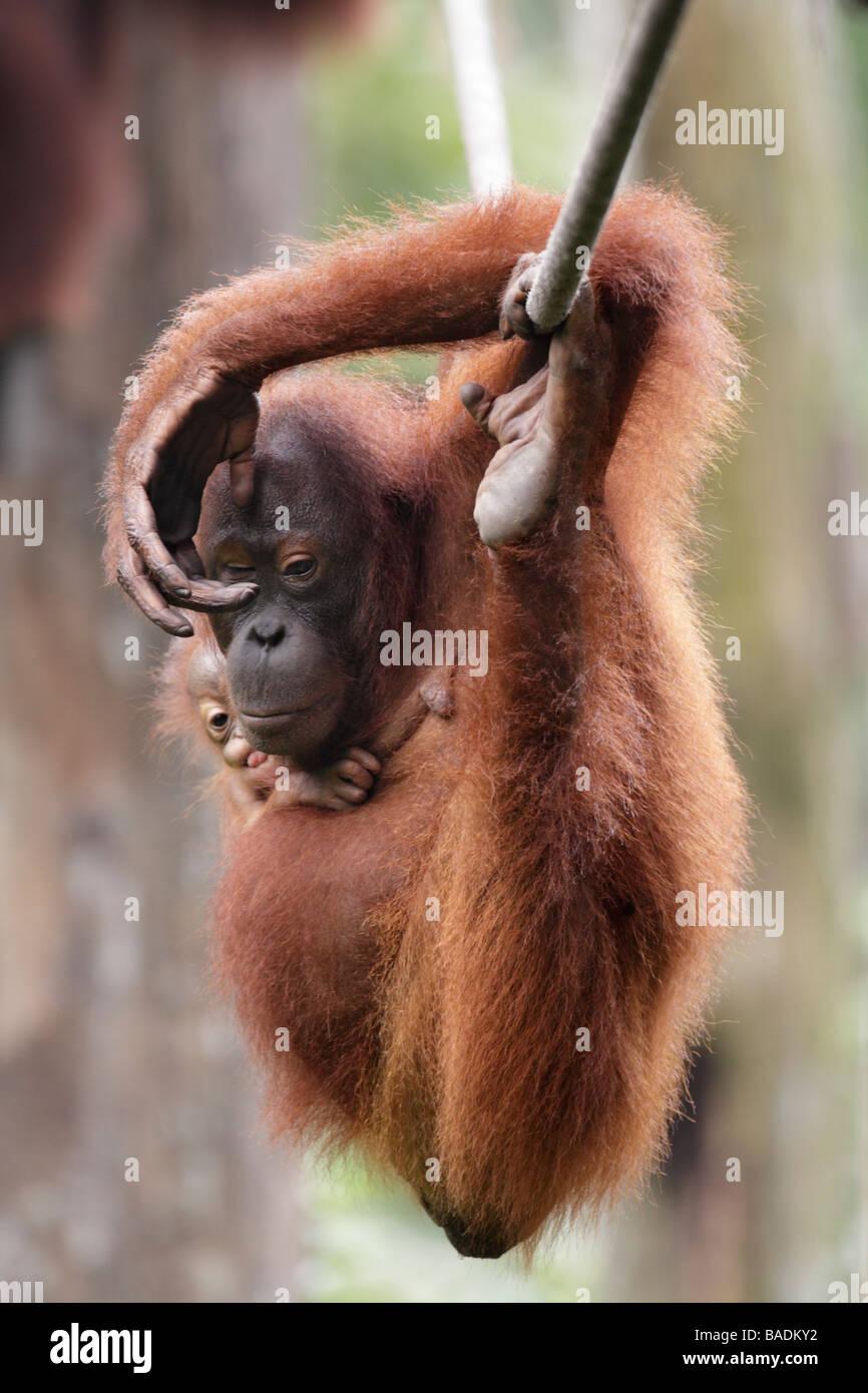 Orang utan mother and baby hanging on a rope Kabili Sepilok Rainforest Reserve Sabah Borneo - Stock Image