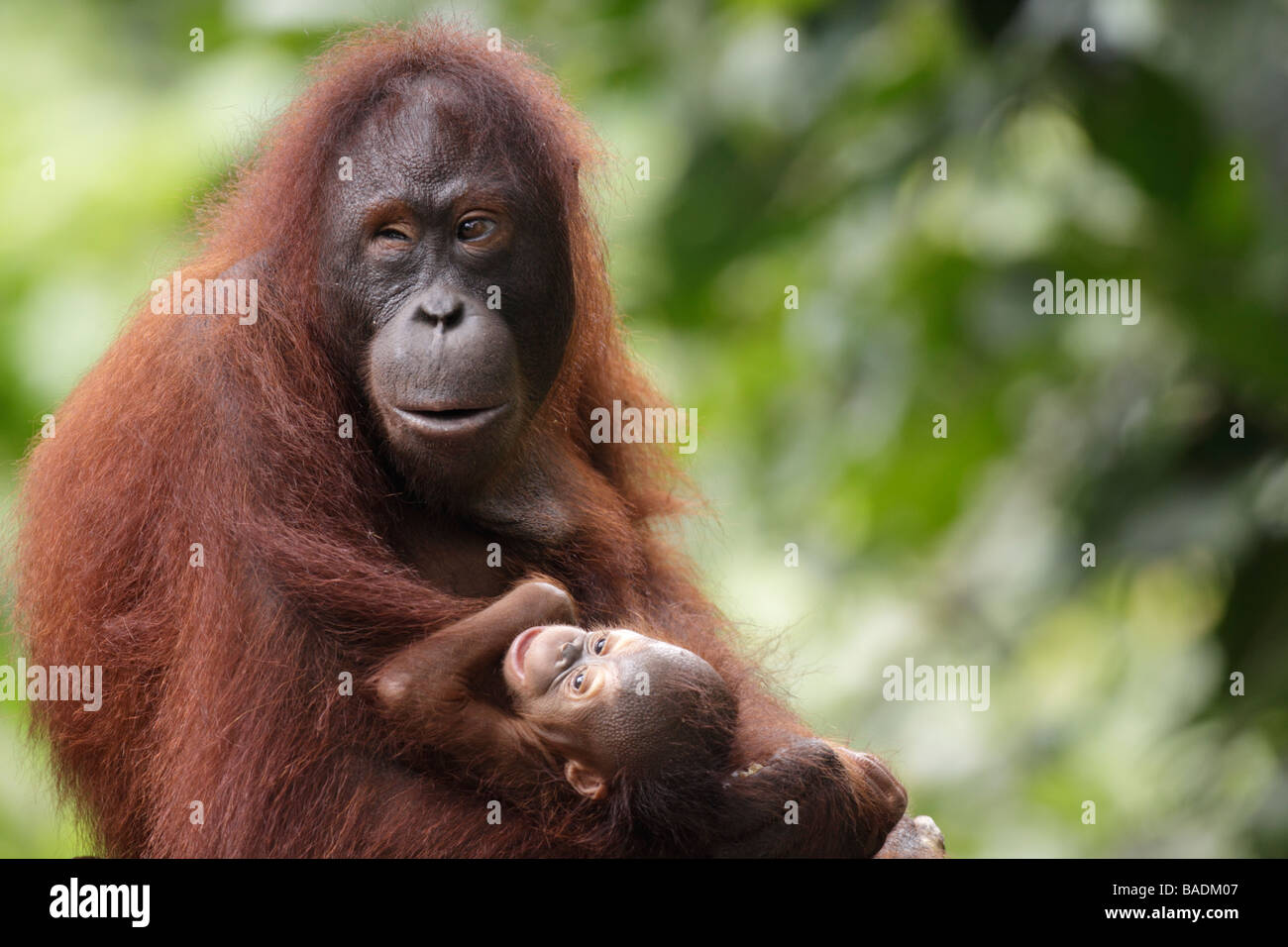 Mother orang utan and baby Kabili Sepilok Rainforest Reserve Sabah Borneo - usage agreed for a charity's 2010 - Stock Image