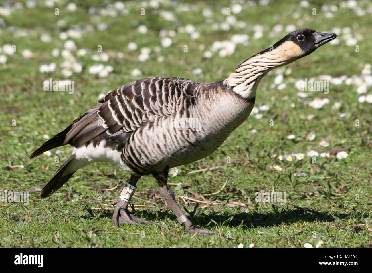 Threat Display Of Hawaiian Goose or Nēnē Branta sandvicensis Taken At Martin Mere WWT, Lancashire UK - Stock Image