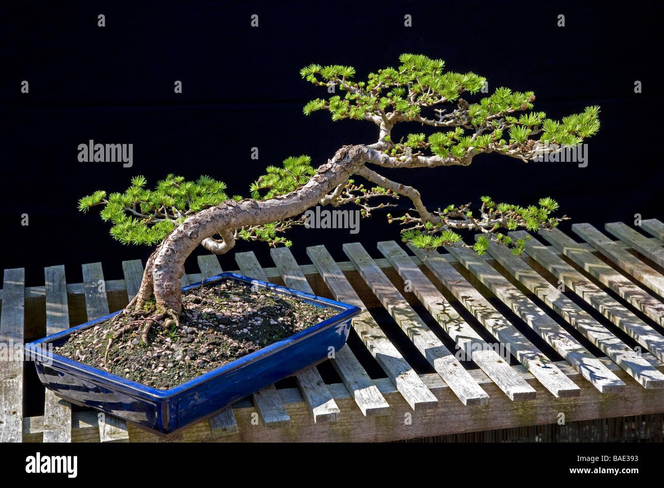 Bonsai Japanese Larch Stock Photo Alamy