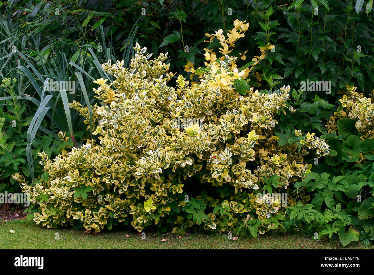 Euonymus fortunei Emerald 'n Gold - Stock Image