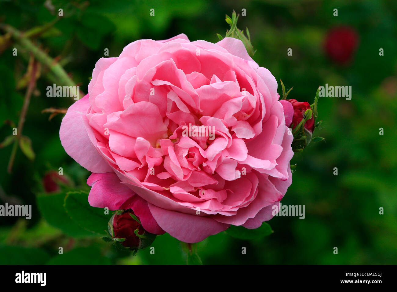 Rosa Belle Amour - Stock Image