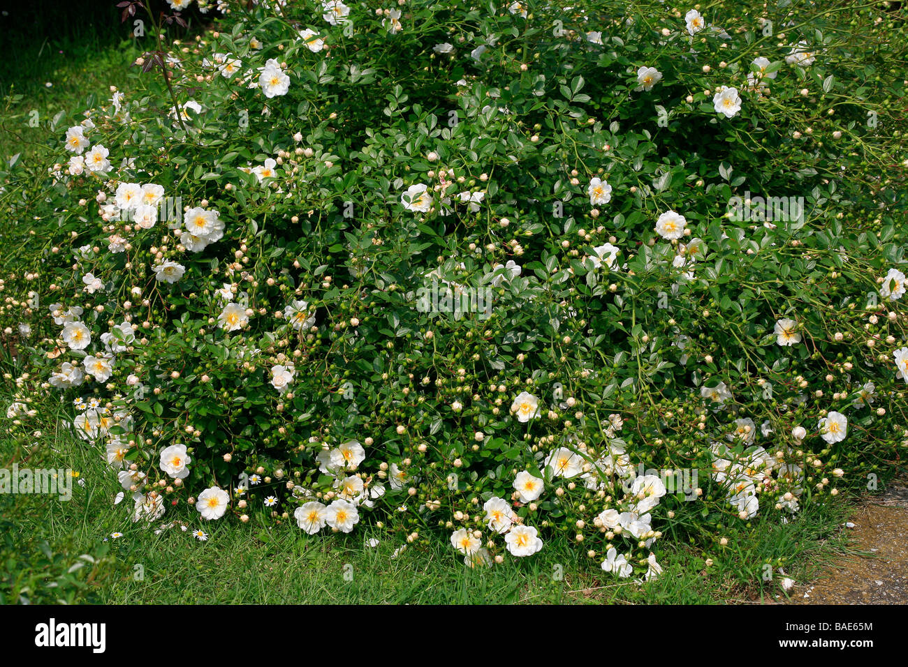 Rosa ground cover 'Newly Wed' - Stock Image