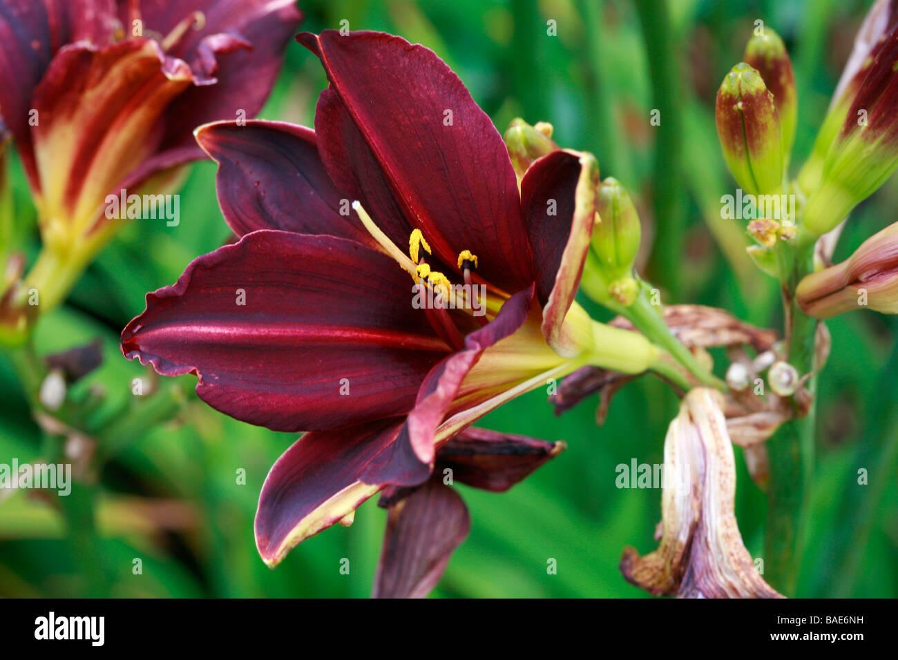 Hemerocallis American Evolution - Stock Image