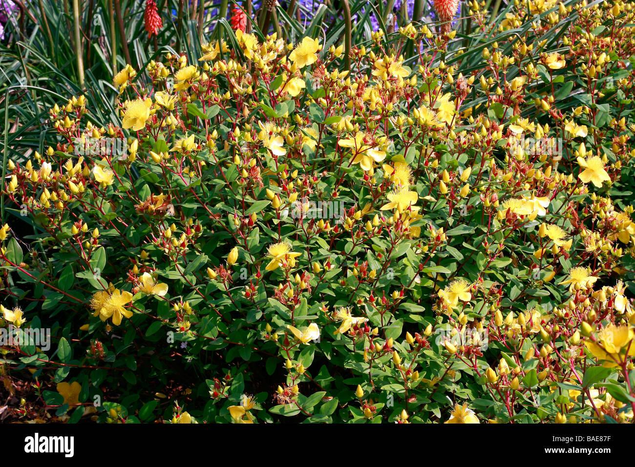 Hypericum beanii Gold Cup 20 seeds