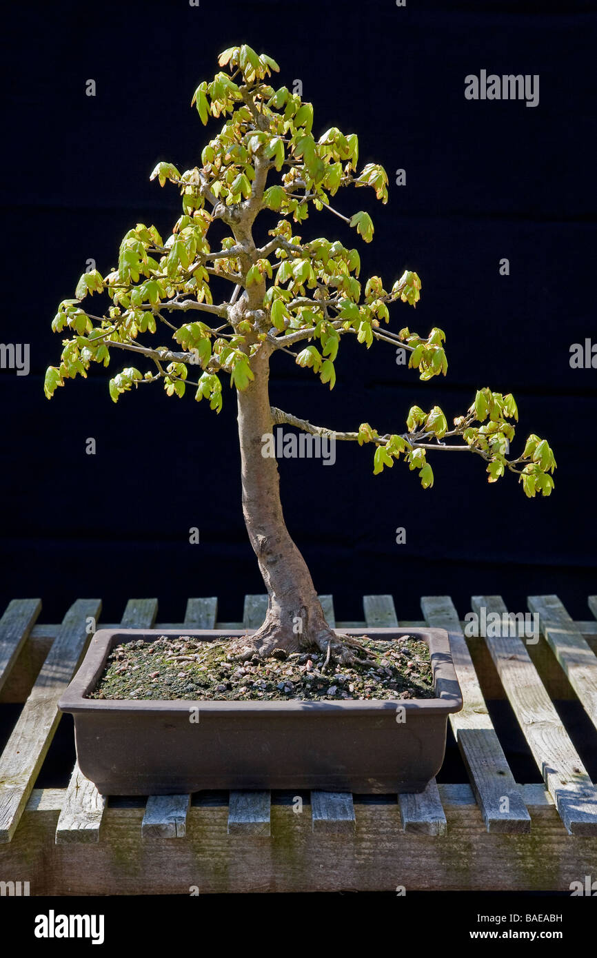 Maple Bonsai Stock Photos Images Page 2 Alamy Wiring Wisteria Field Image