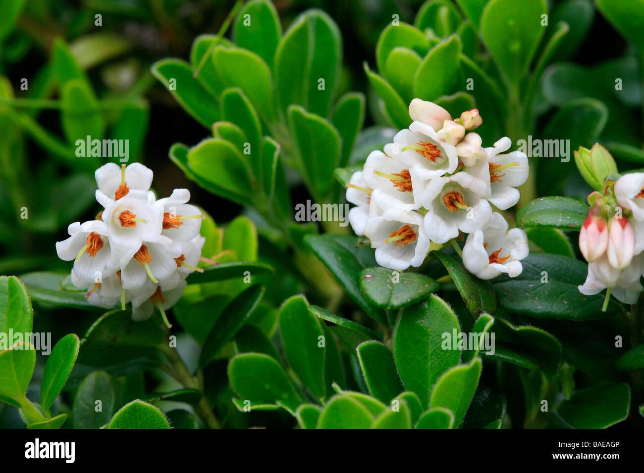 Arctostaphylos uva-ursi - Stock Image