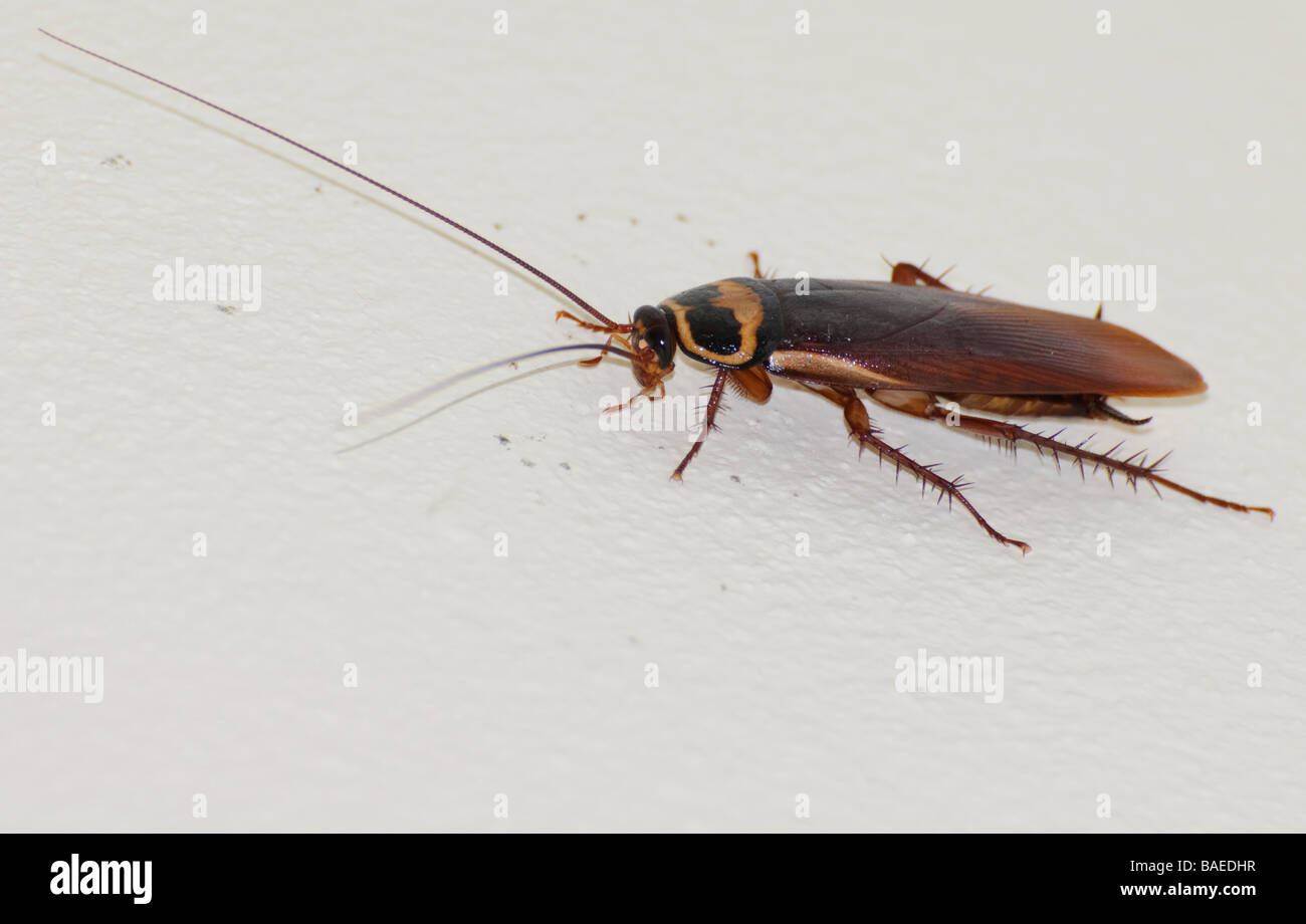 Australian cockroach (Periplaneta australasiae) on a domestic bathroom wall. Vermin; insect; insects; creepy crawly; - Stock Image